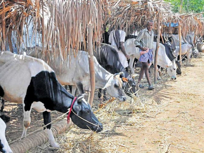 Protection Of Cows From Slaughter, Stricter Laws Needed :Gujarat Govt